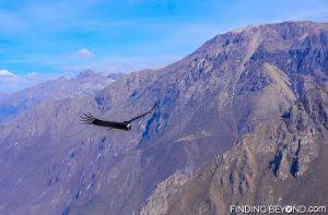 Condor gliding over Colca Canyon, Peru.