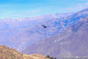 Condor gliding over Colca Canyon, Peru