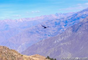 Condor gliding over Colca Canyon, Peru