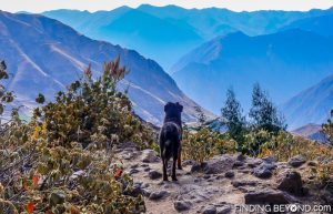 Our new dog friend enjoying the view of Colca Canyon, Peru