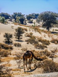 One of our Camels taking a well earned break in the Thar Desert, India
