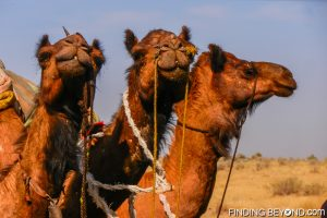 Camels in the Thar Desert, India