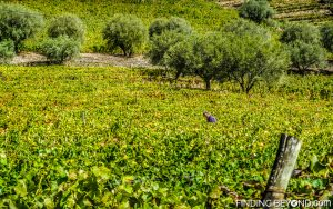 Grape picker in one of the many vineyards, Douro Valley, Portugal. Portugal Highlights for a 2 Week Itinerary.