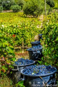 Freshly picked grapes ready for pressing. Our guide to the Douro Valley, Portugal.