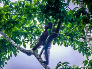 Our new Orangutan friend enjoying his breakfast. Discovering Jungle Wildlife Along Borneo's Kinabatangan River.