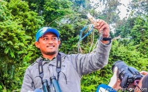 Our guide showing us a giant river shrimp. Discovering Jungle Wildlife Along Borneo's Kinabatangan River.
