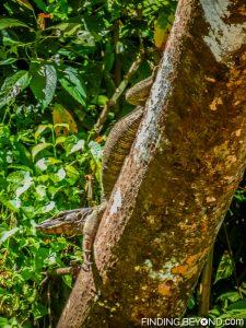 Monitor Lizard. Discovering Jungle Wildlife Along Borneo's Kinabatangan River.