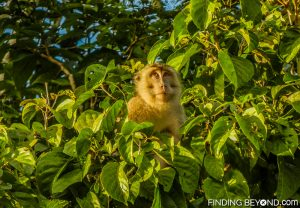 A Macaque Monkey. Discovering Jungle Wildlife Along Borneo's Kinabatangan River.