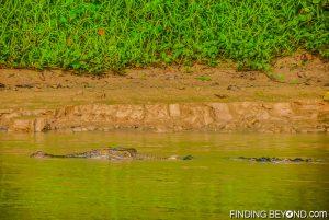 Crocodile in the river. Discovering Jungle Wildlife Along Borneo's Kinabatangan River.