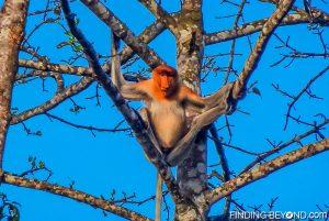 The big nosed Proboscis Monkey. Discovering Jungle Wildlife Along Borneo's Kinabatangan River.