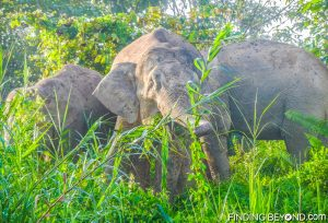 Three from the group of Bornean Pigmy Elephants. Discovering Jungle Wildlife Along Borneo's Kinabatangan River.