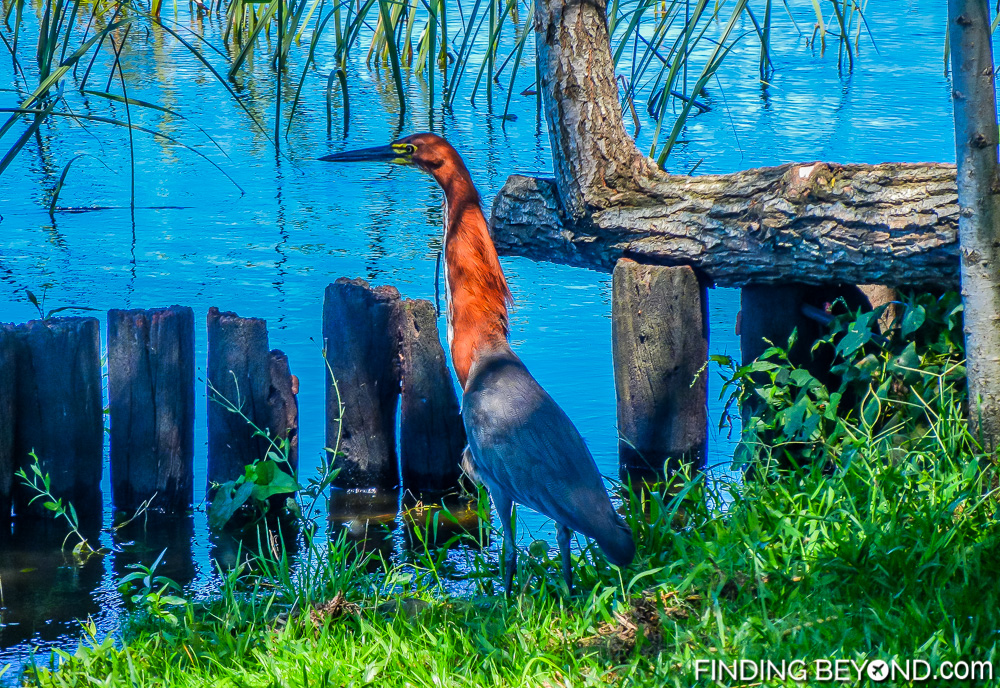 One of many birds sighted at Argentina's Ibera Wetlands. Our Ibera Wetlands Argentina Wildlife Adventure.