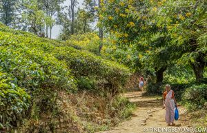 More tea plantation paths. Mountains in Sri Lanka - Little Adams Peak: A Photo Journey.