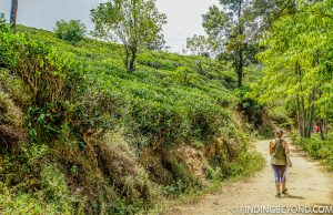 Oh another tea plantation path. Mountains in Sri Lanka - Little Adams Peak: A Photo Journey.