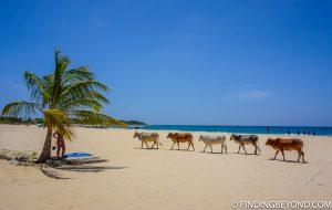 Resident cows on Kalkudah beach. Kalkudah and Pasikuda Beaches - Sri Lanka.
