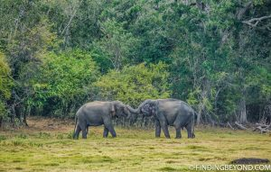 Which is the best national park to see the Sri Lankan elephant? Most would say Minneriya but let us tell you why Kaudulla National Park is better.