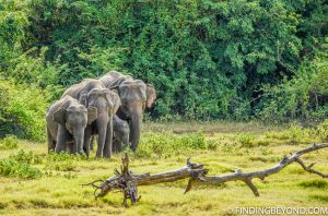Elephants at Kaudulla National Park Sri Lanka