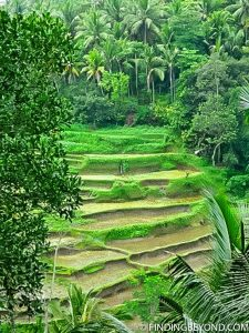 Beautiful Bali rice fields