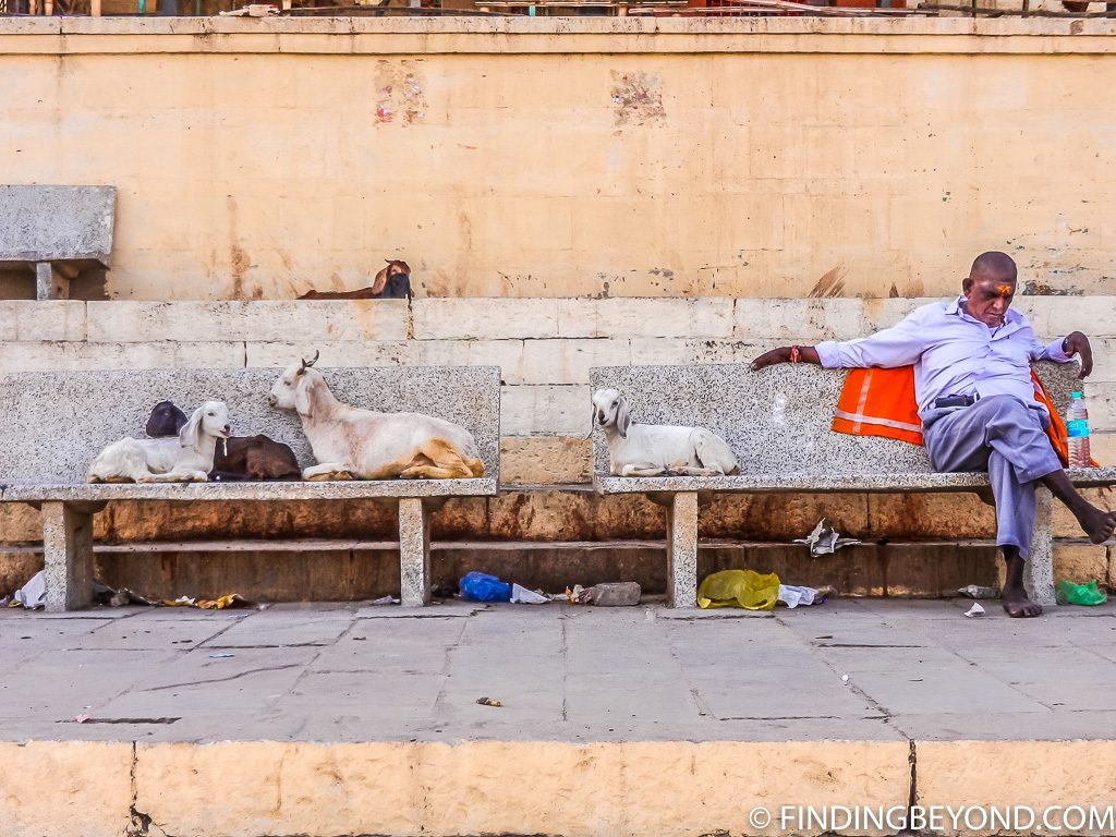 Indian photo of man with goats in varanasi