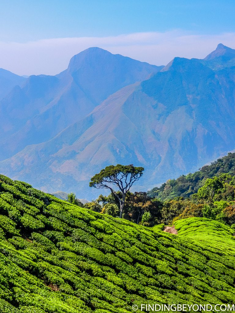 Indian photo of Munnar tea plantations