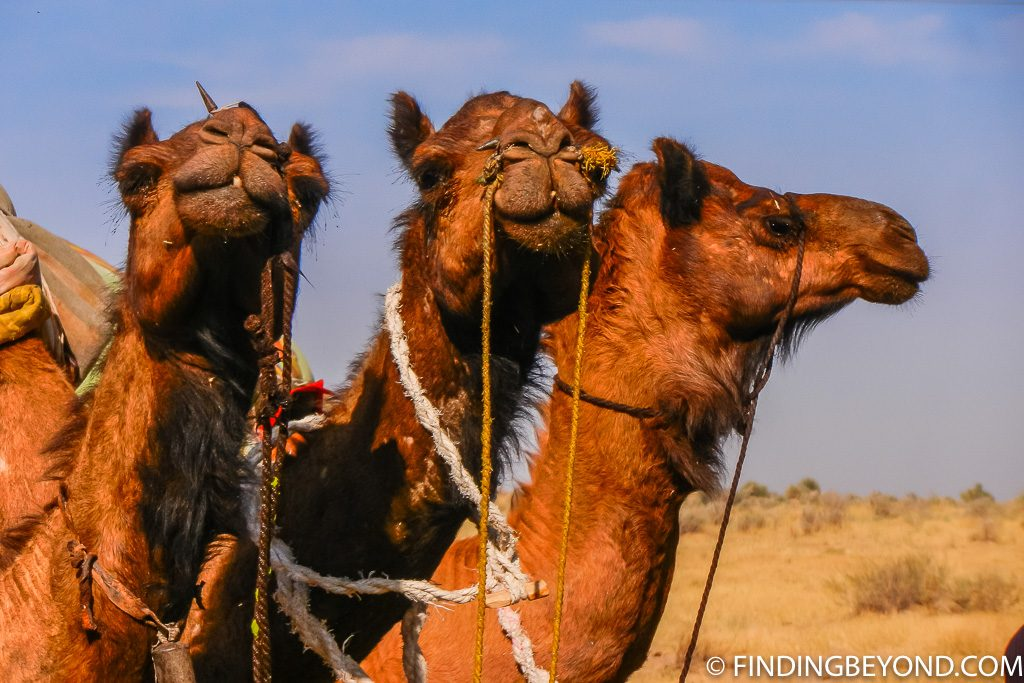 Indian Photo of Camels in Thar Desert India