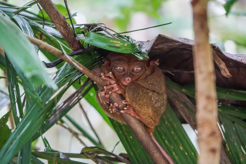 Tarsier - Bohol Attractions Best Places In Bohol Philippines