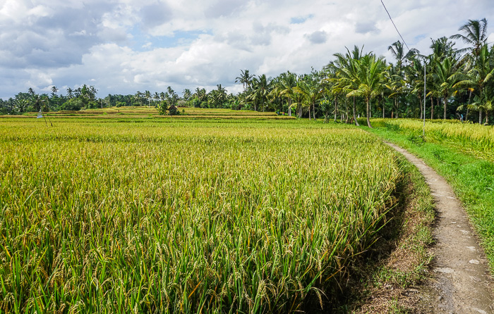 Ubud Rice Fields Walk