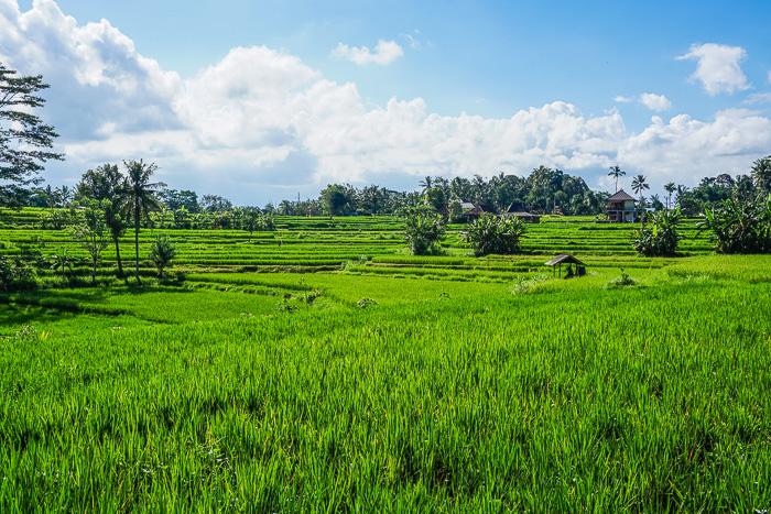 Ubud Rice Fields Walk Along Campuhan Ridge