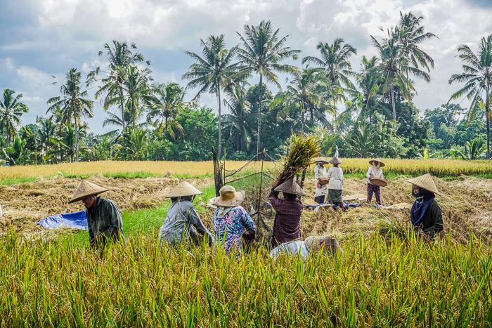 Ubud Rice Fields Walk Farmers