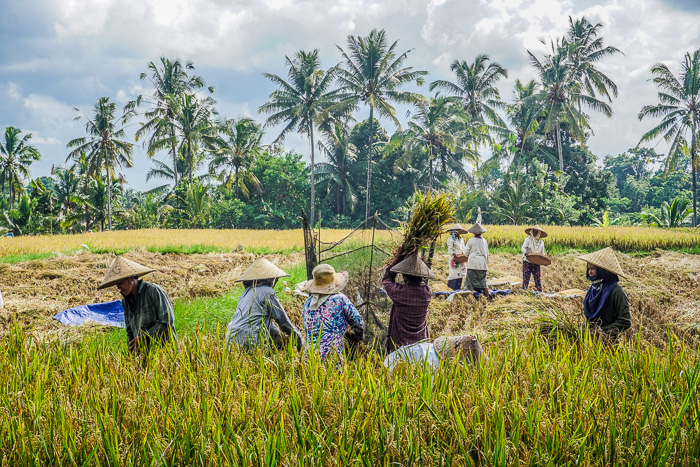 Ubud Rice Fields Walk Farmers