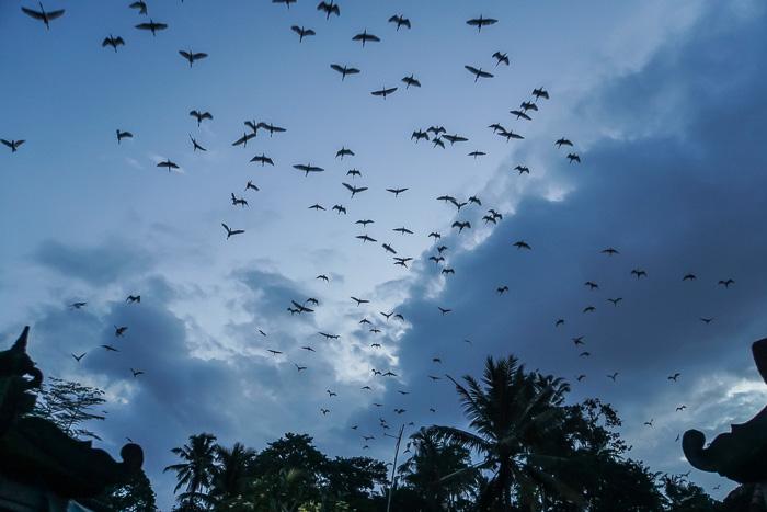 Petulu Heron Colony Ubud
