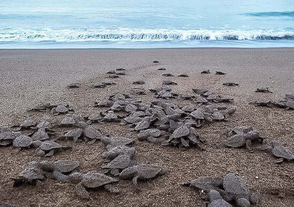 sea turtle conservation costa rica