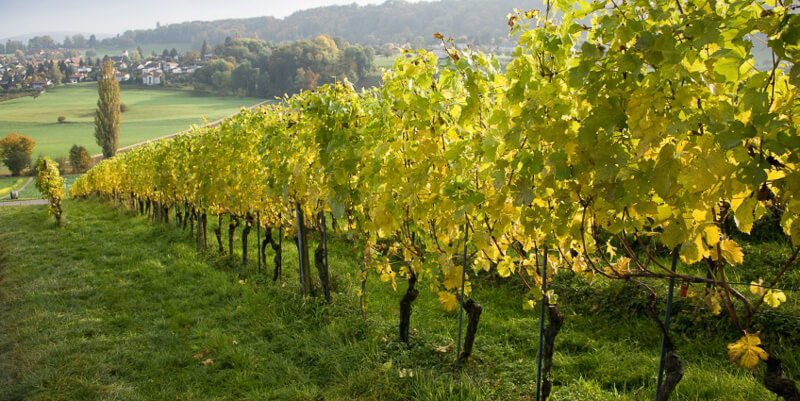 vinho verde grape vines