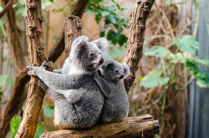koala bear brisbane
