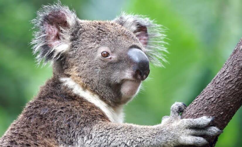 koala-closeup