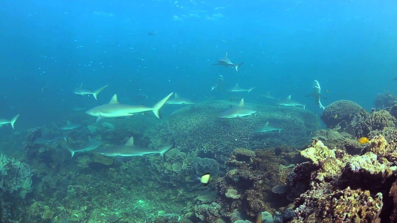 coral bay sharks