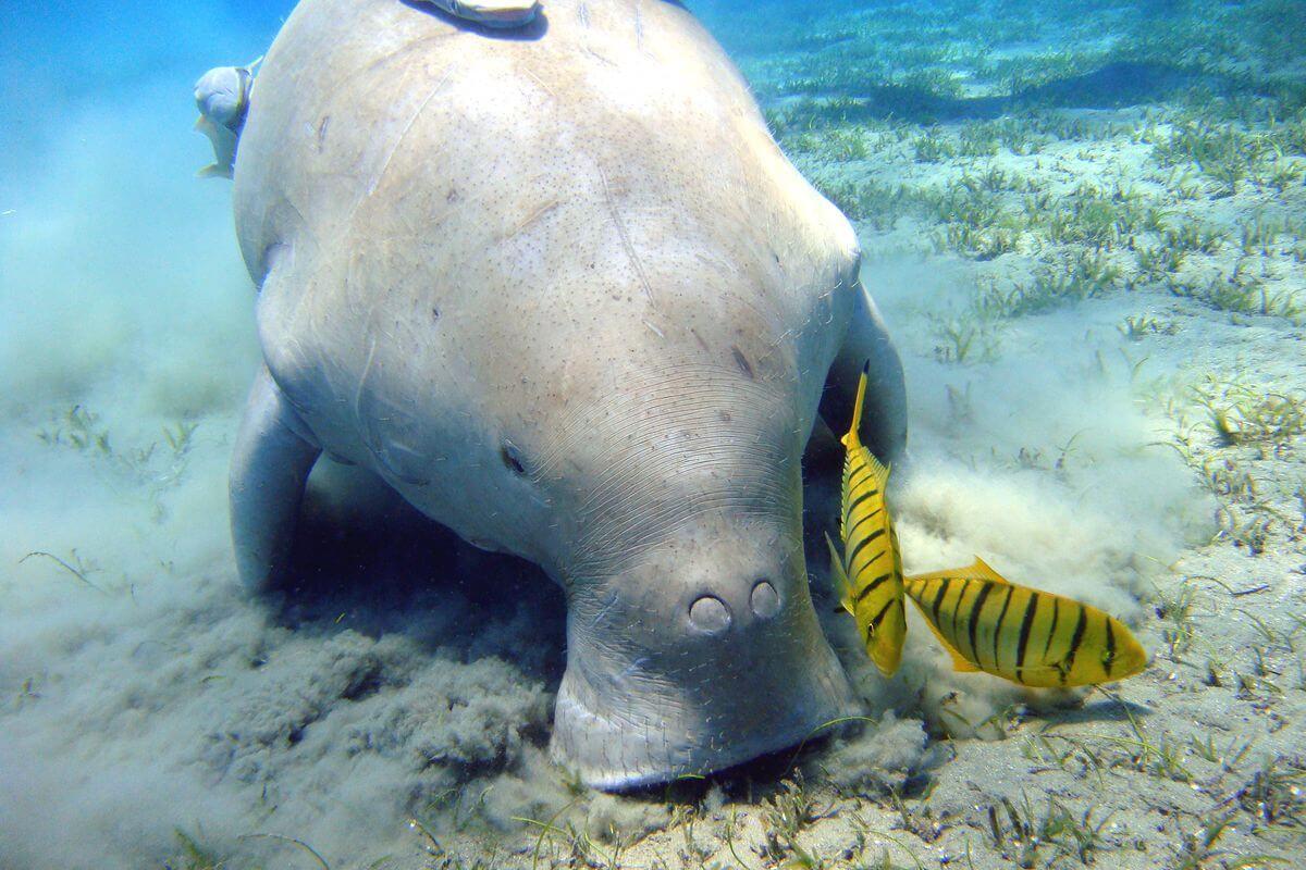 dugong monkey mia