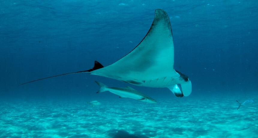 manta rays coral bay