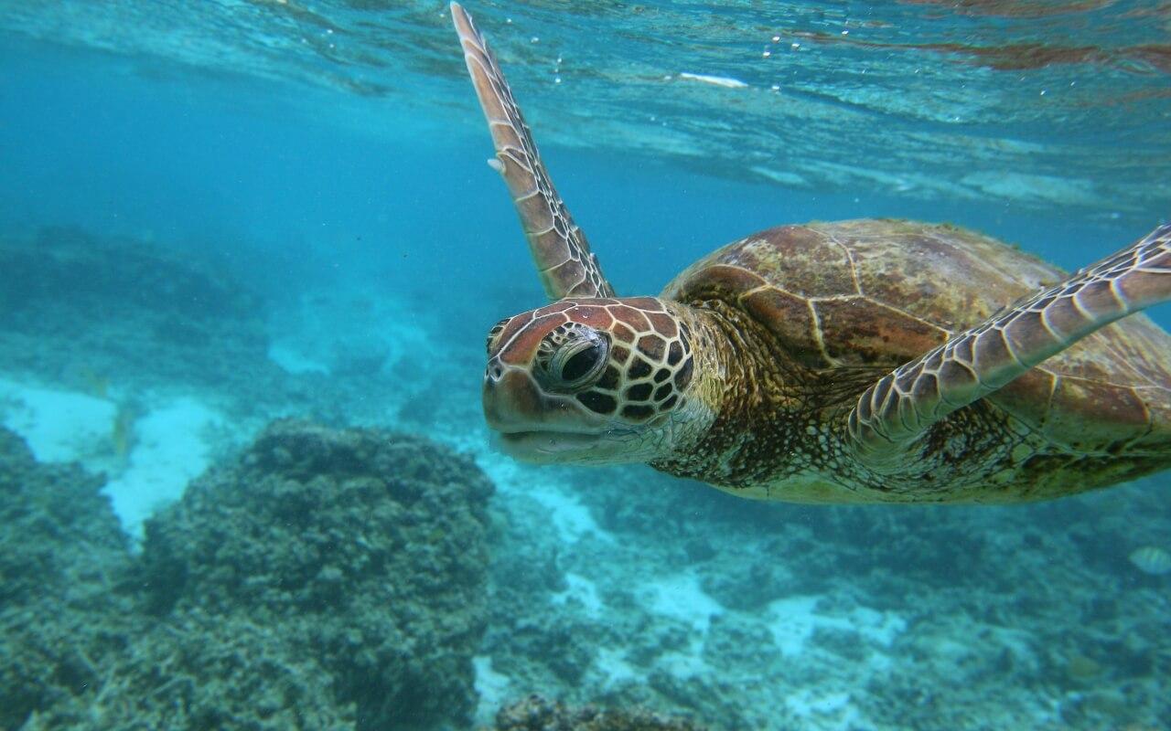 ningaloo reef turtle