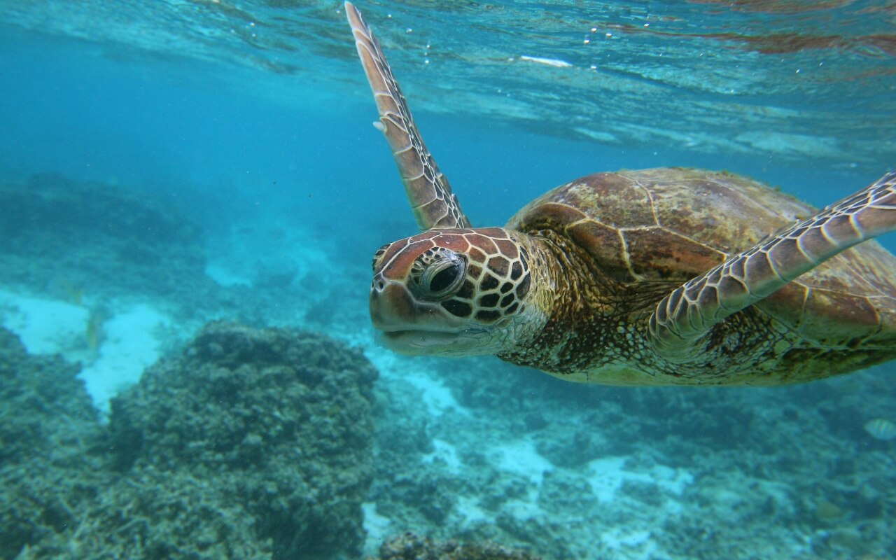ningaloo reef turtle