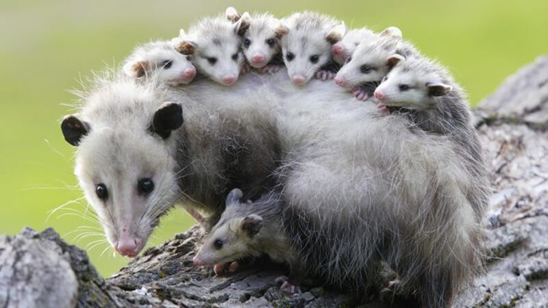 possums australia