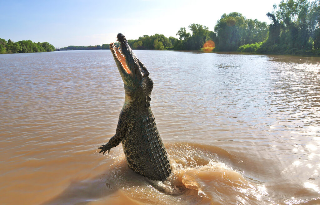 saltwater crocodiles west australia