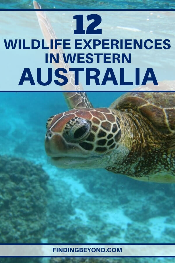 Western Australia is home to 70% of native mammal species. Get up close by checking out this list of best wildlife experiences on Australia's West coast.