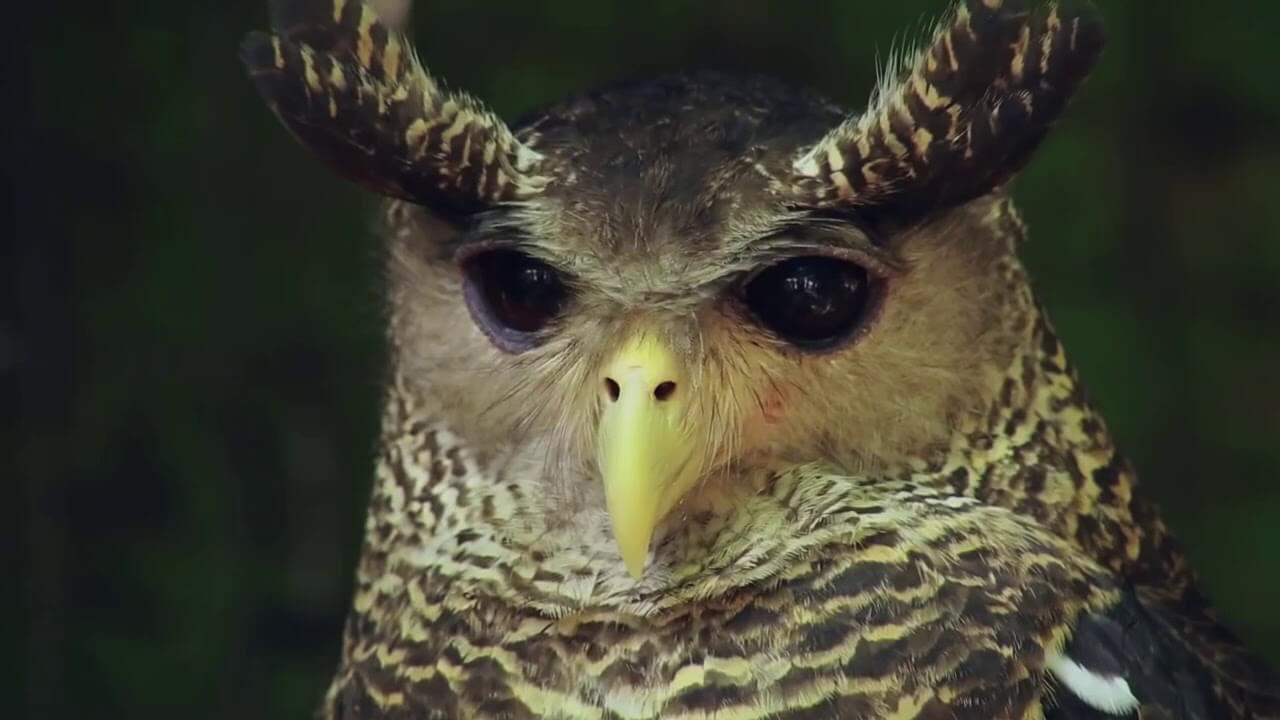 devil bird of sri lanka