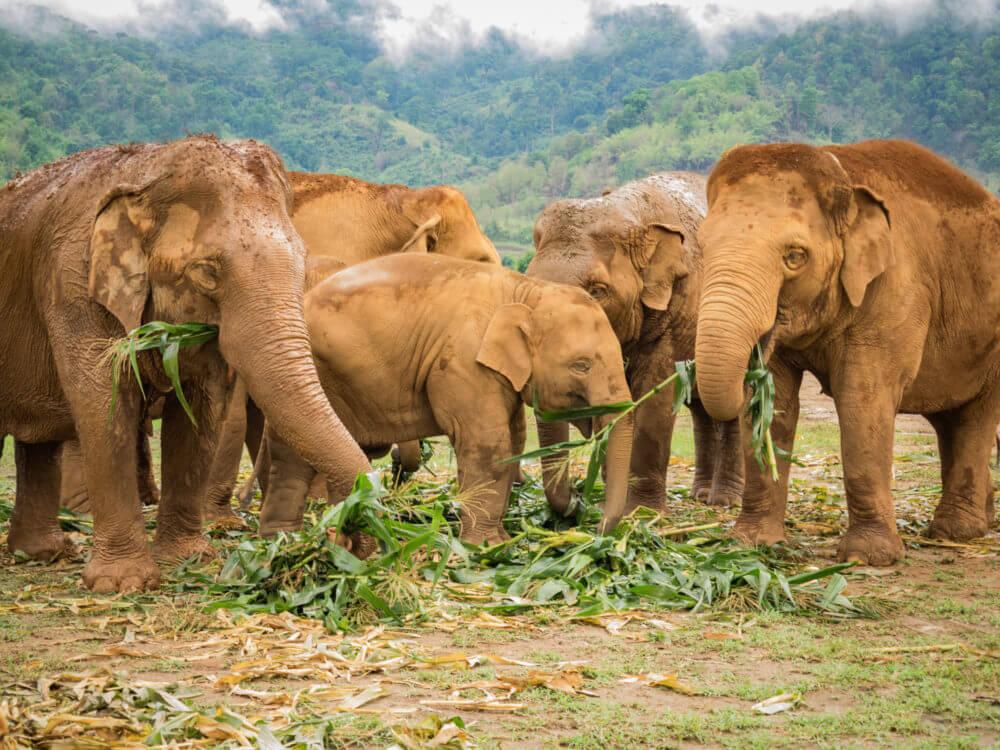 elephant-santurary-chiang-mai